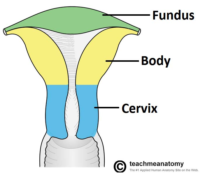 Fig 1.1 - The three anatomical divisions of the uterus.