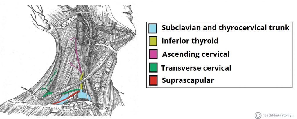 Major Arteries of the Head and Neck - Carotid - TeachMeAnatomy