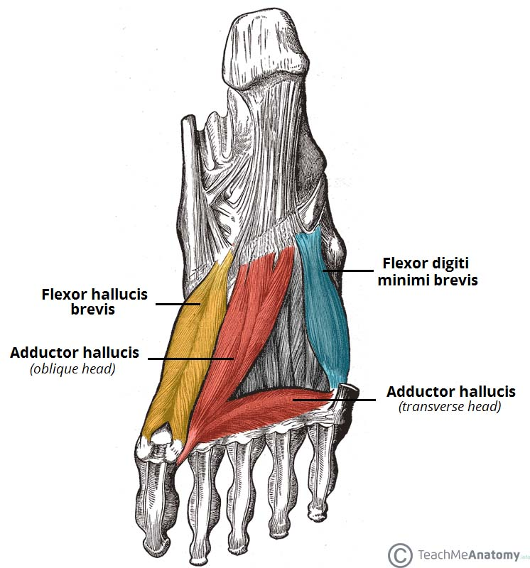 muscles of the foot - dorsal - plantar - teachmeanatomy, Human Body