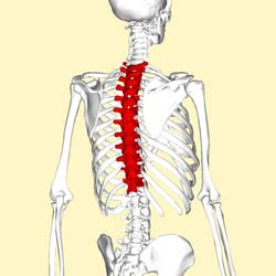 Fig 1.0 - Overview of the thoracic spine.