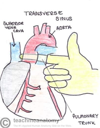 Transverse Sinus of the Heart