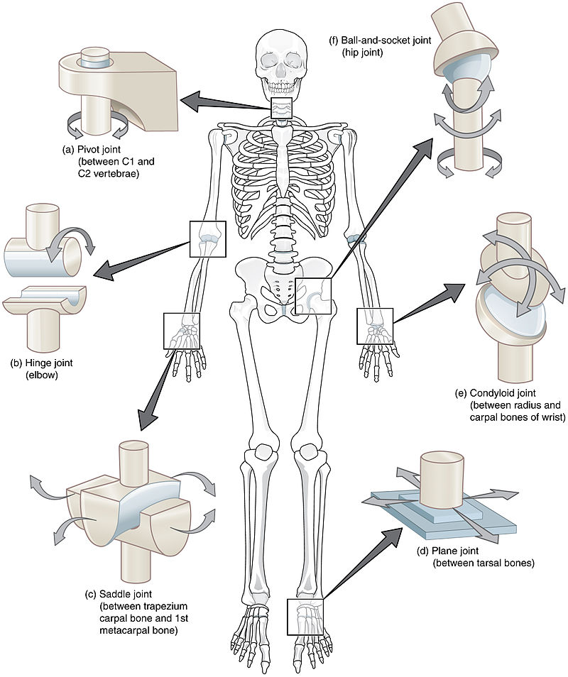 Classification Of Joints Fibrous Joints Cartilaginous Joints Synovial Joints Teachmeanatomy Synchondrosis symphysis synchondrosis joint has bands of hyaline cartilage which unite bones and an epiphyseal plate (temporary). cartilaginous joints synovial joints