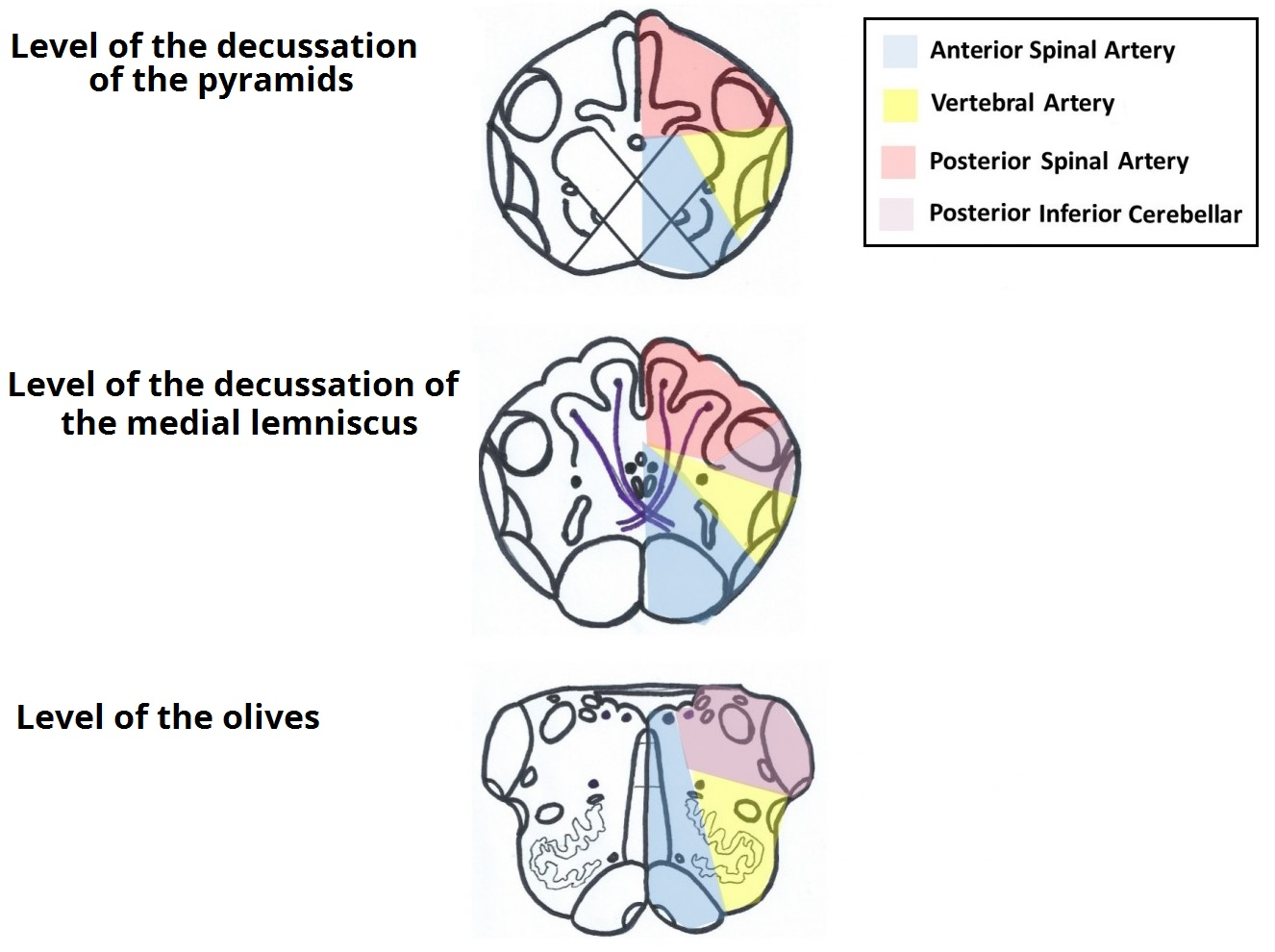 The Medulla Oblongata - Internal Structure - Vasculature ...