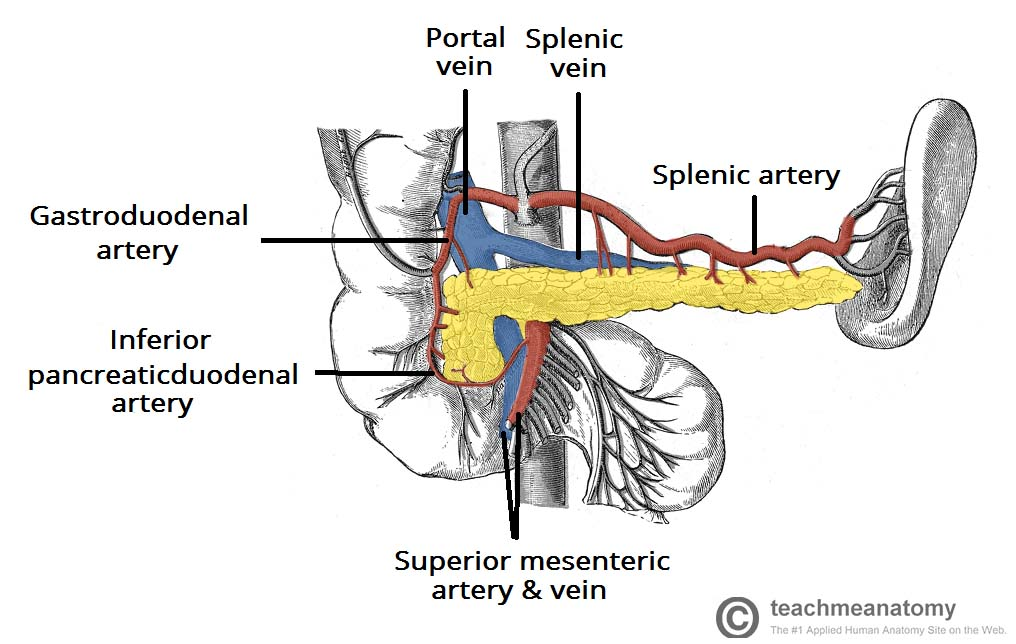 Fig 1.2 - The arterial supply and venous drainage of the pancreas