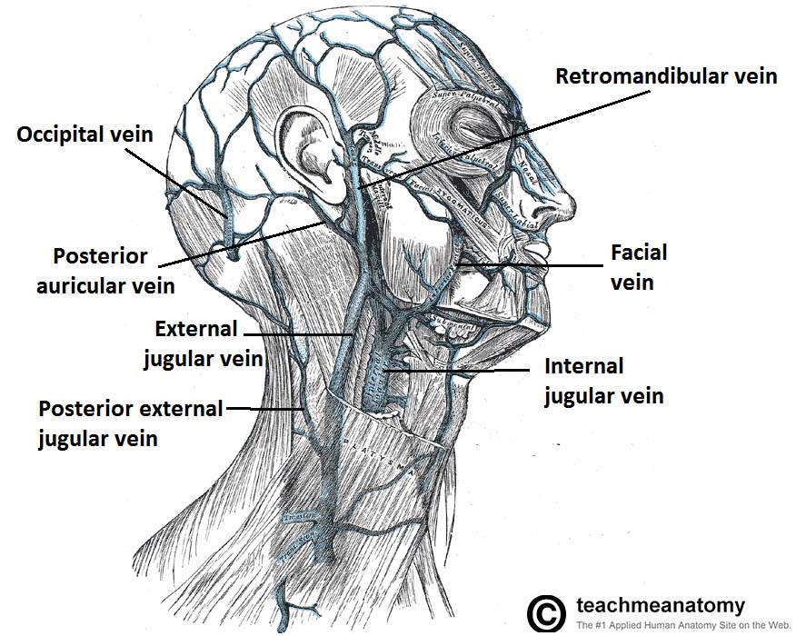 Fig 1.0 - Major tributaries of the external jugular vein, draining the external face and scalp. The facial and internal jugular veins are labelled for completeness