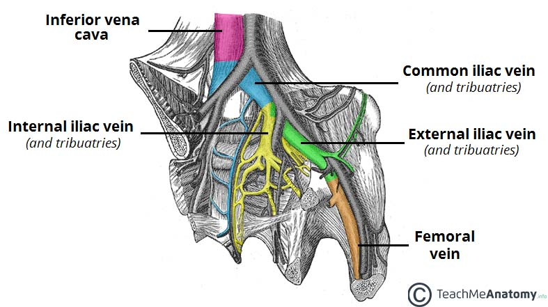 the pelvic veins - external - internal - common iliac - teachmeanatomy, Cephalic Vein