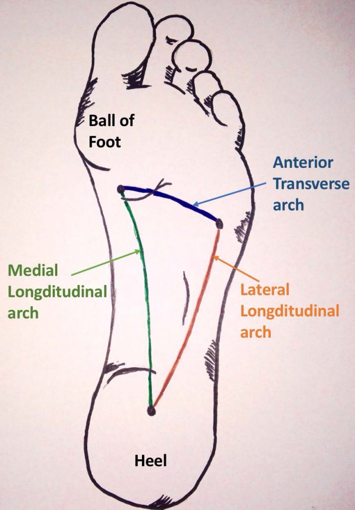 Fig 1 - The longitudinal and transverse arches of the foot.